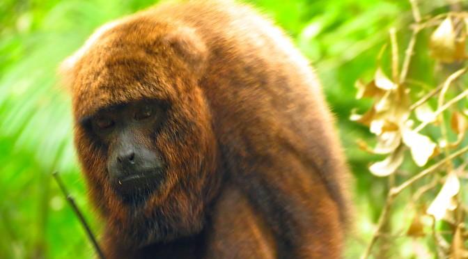 A volta dos bugios ao Parque Nacional da Tijuca